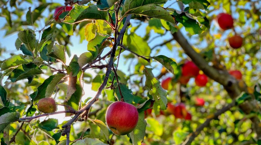 奇跡のアンチエイジング成分「リンゴ果実培養細胞エキス」