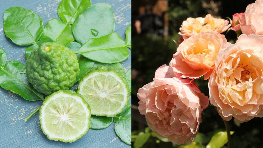 クワトロボタニコの香りの秘密は柑橘系のベルガモットと美しいローズマリー